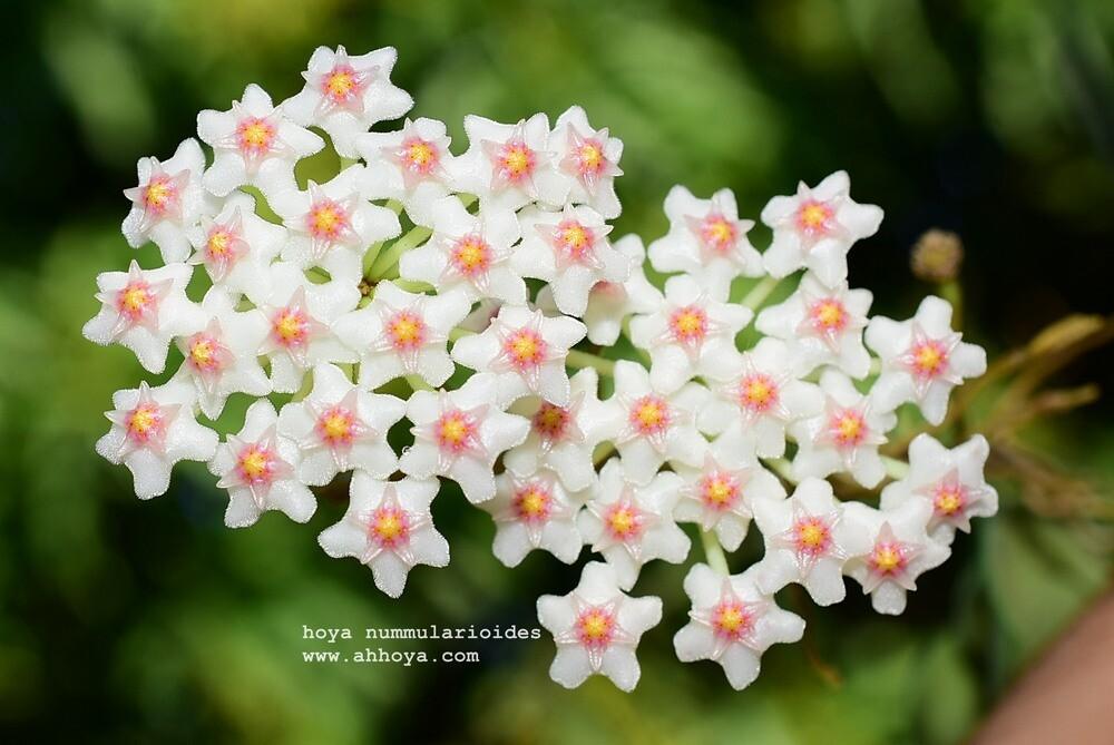 Hoya nummularioides pink corona