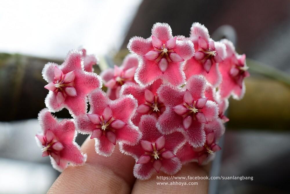 "Hoya pubicalyx  ""Pink Dragon"""