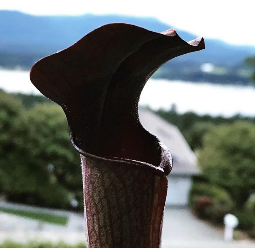 Sarracenia  alata Black Tube Desoto Co