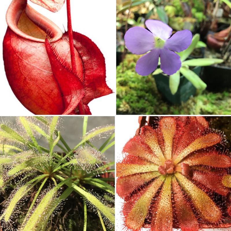Basic Beginners Carnivorous Plant Starter Kit 4.0