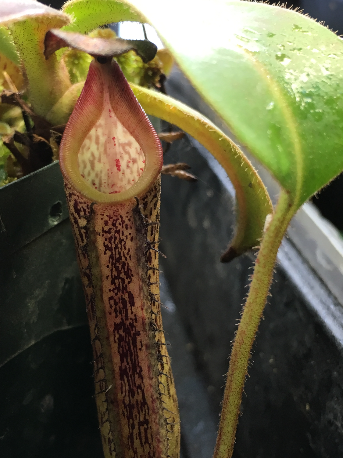 Nepenthes fusca, seed grown Gunung Alab 1700m