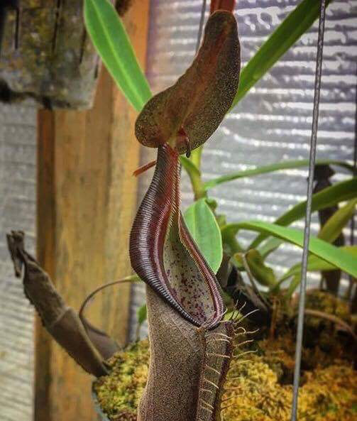 Nepenthes lingulata - seed grown
