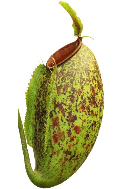 "Nepenthes ampullaria x aristolochiodes ""green form"""