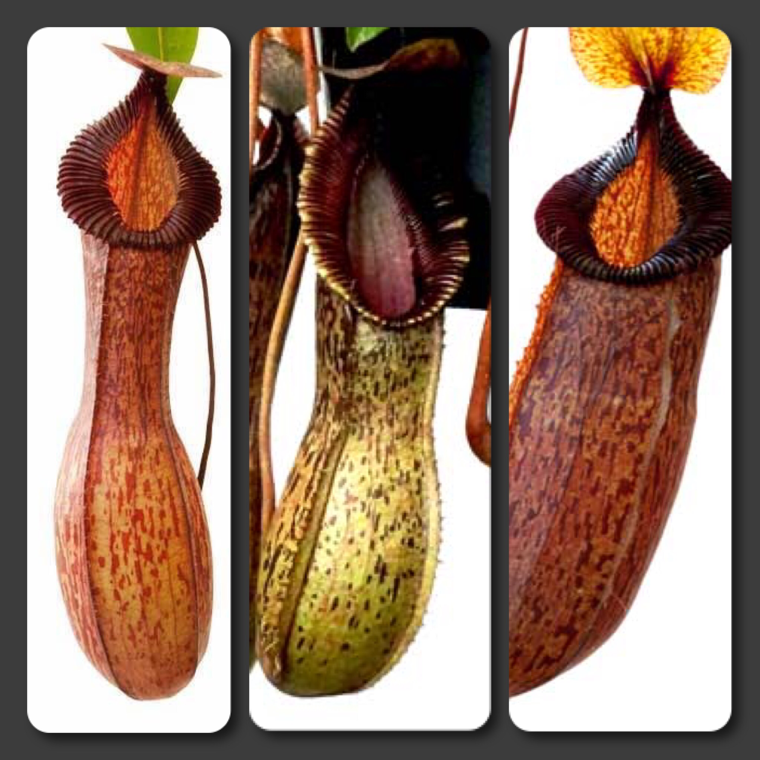 Nepenthes hamata hybrid Starter pack