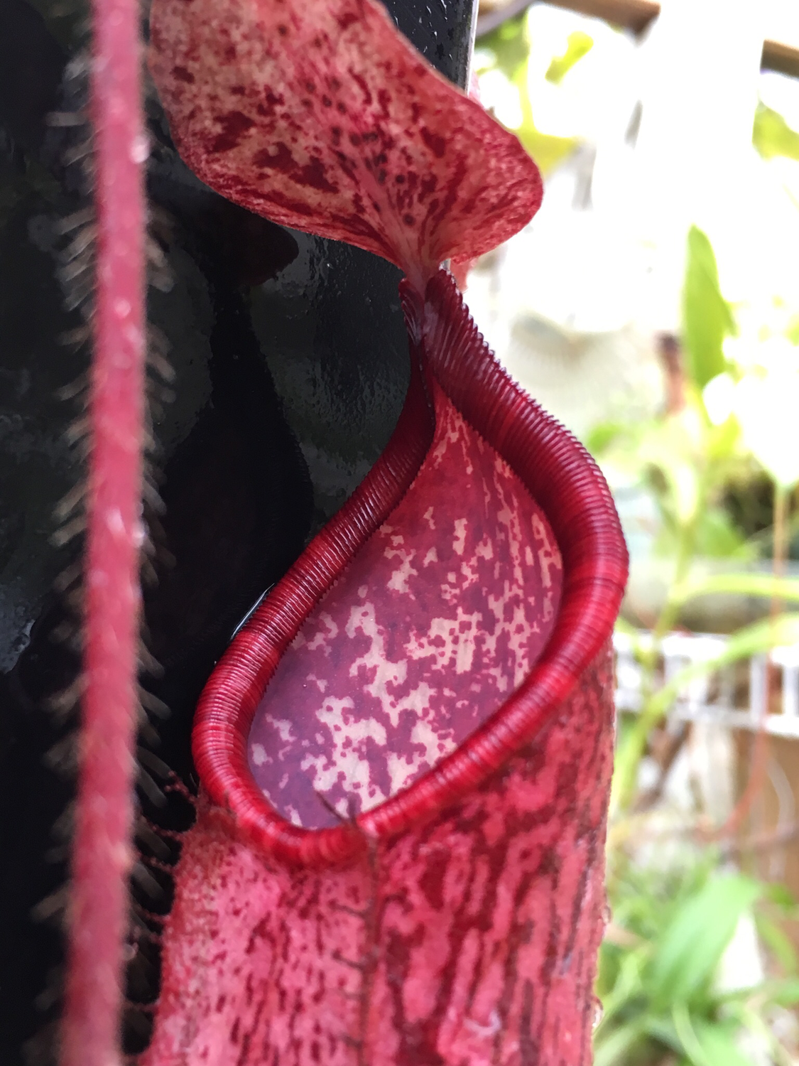 Nepenthes peltata BE -3464