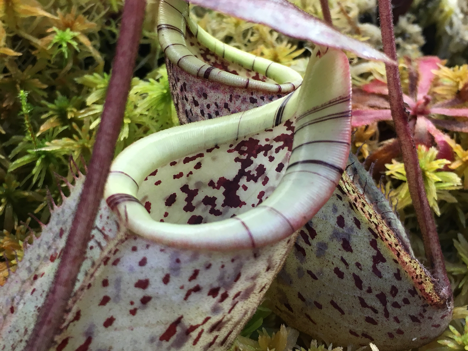 Nepenthes burbidgeae (From my Personal collection)