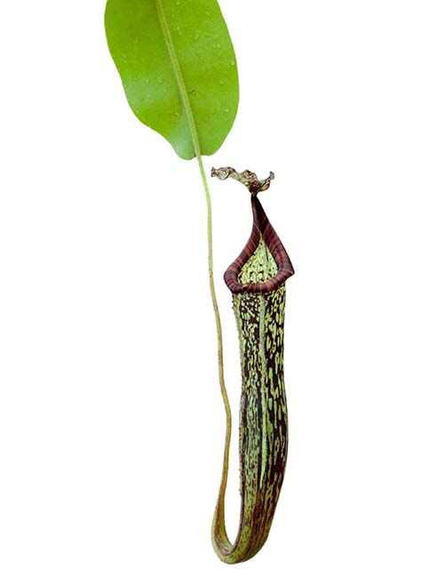 Nepenthes maxima x vogelii BE-3728