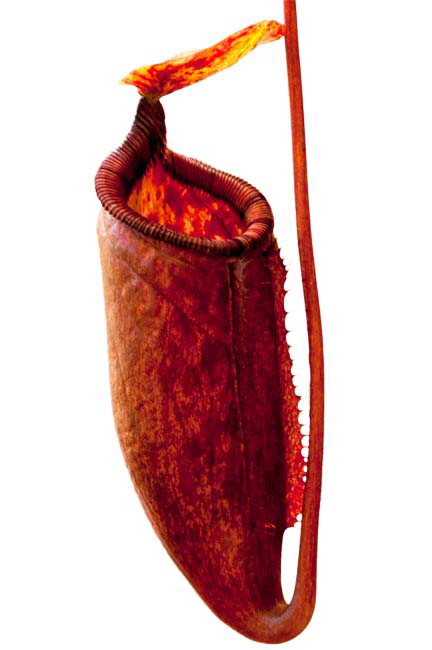 Nepenthes palawanensis - BE-3651