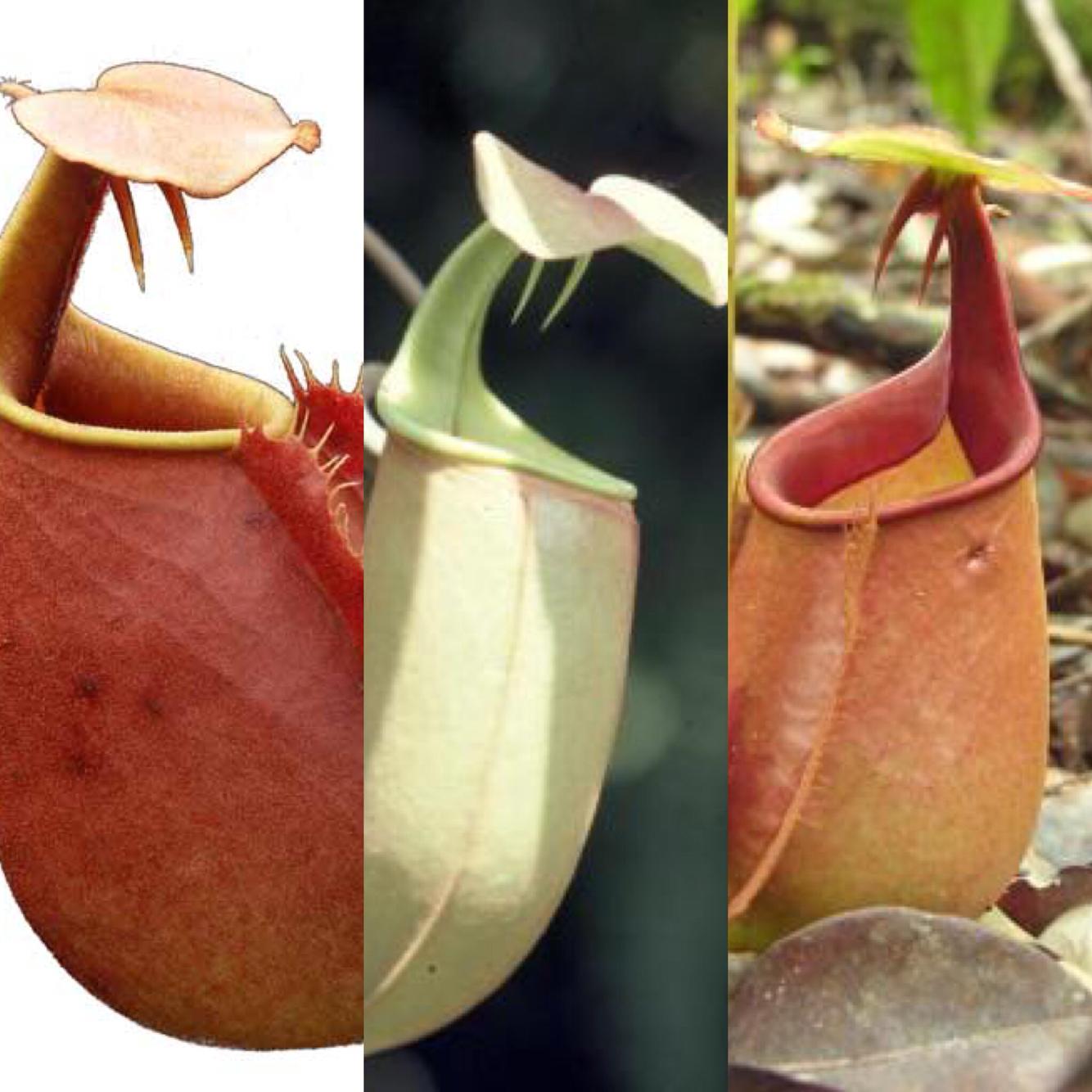 Nepenthes bicalcarata Starter Pack