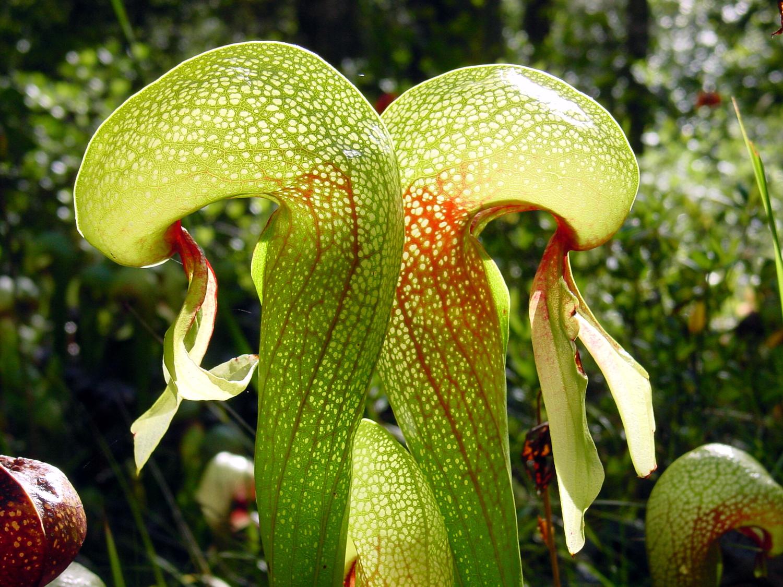 "Darlingtonia californica  ""Cobra Lily""- medium adult plant."