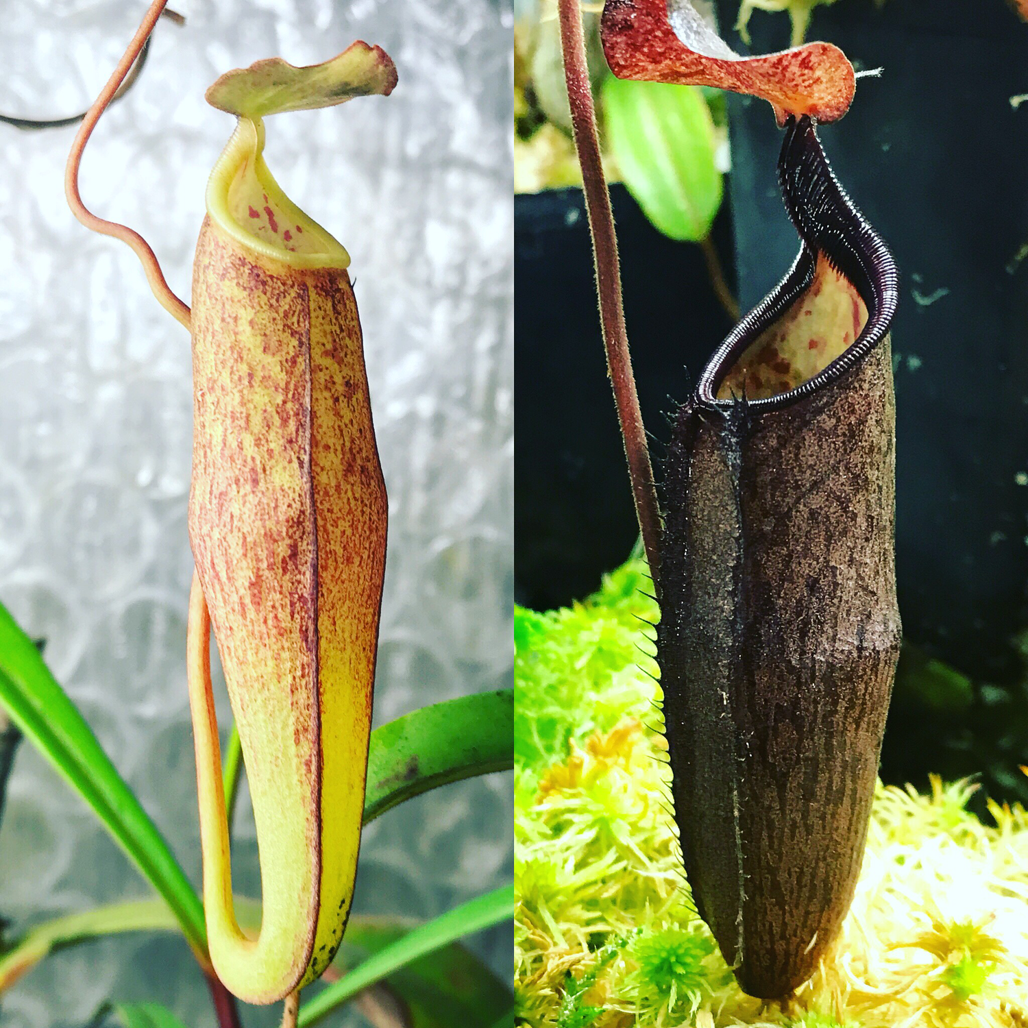 Nepenthes alba