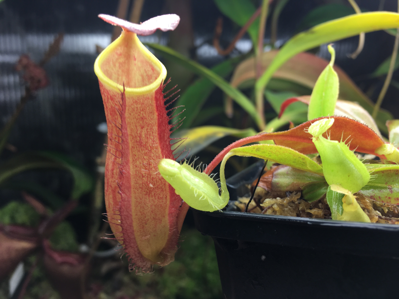 Nepenthes philippinensis beautiful species!