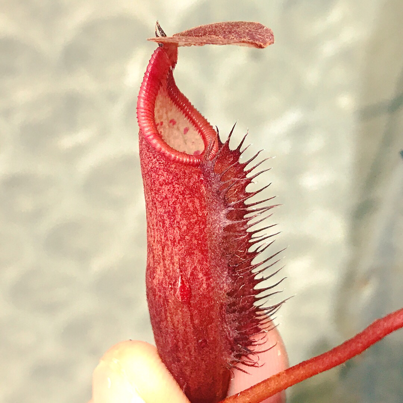 Nepenthes densiflora BE