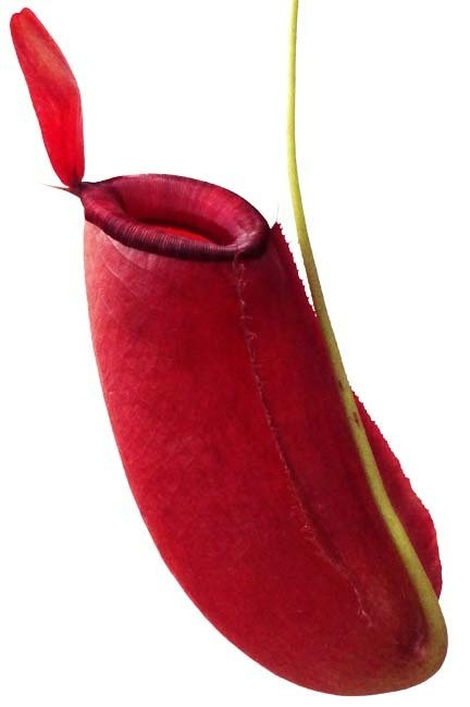 Nepenthes ampullaria x spectabillis BE3674 (size Med) Amazing Size!