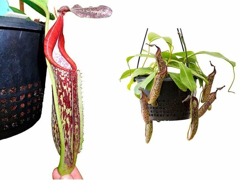 Nepenthes fusca BE-3465 Mamut form