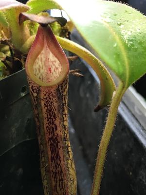 Nepenthes fusca, Gunung Alab
