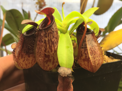Nepenthes aristolochiodes x ventricosa seed grown