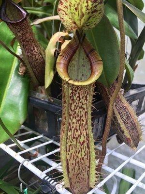Nepenthes hamata x platychilla
