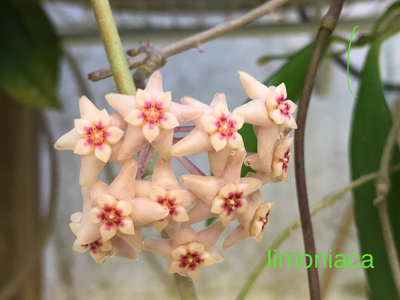 Hoya limoniaca Coming Soon!