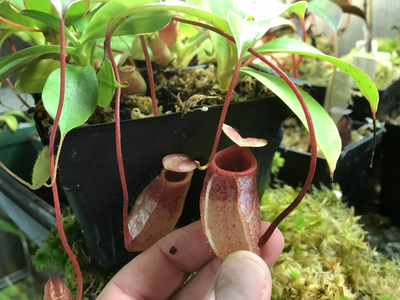 Nepenthes sibuyanensis BE-3164
