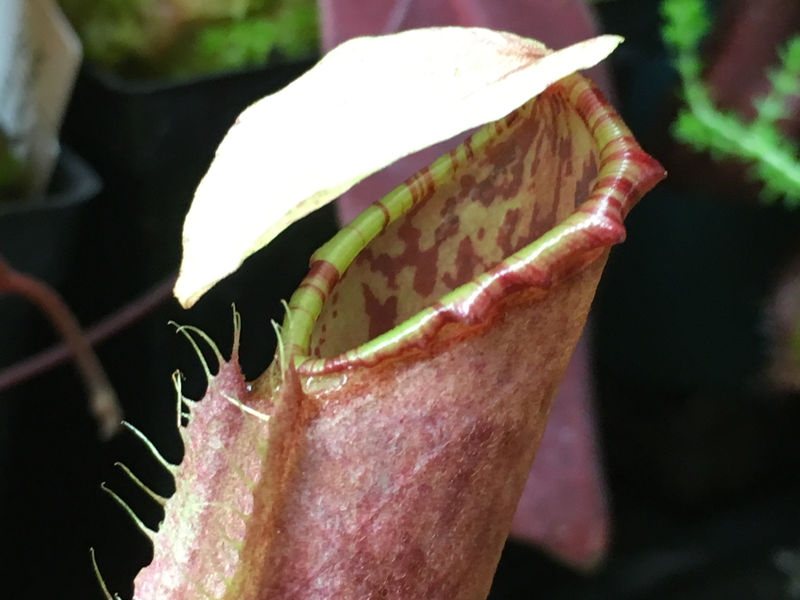 Nepenthes northiana BE-3357 Mega Sale! Good Sized Plants!