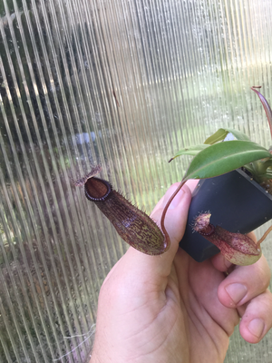 Nepenthes burkei x hamata BE- 3683