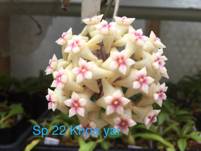 Hoya sp 22 khao yai Coming Soon!
