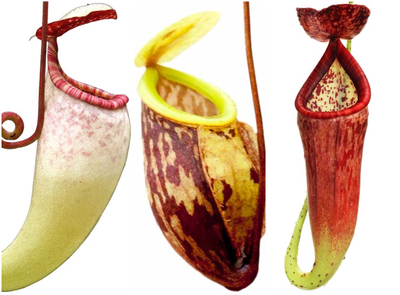 Highland Nepenthes Starter pack #3