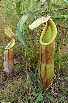 Nepenthes smilesii