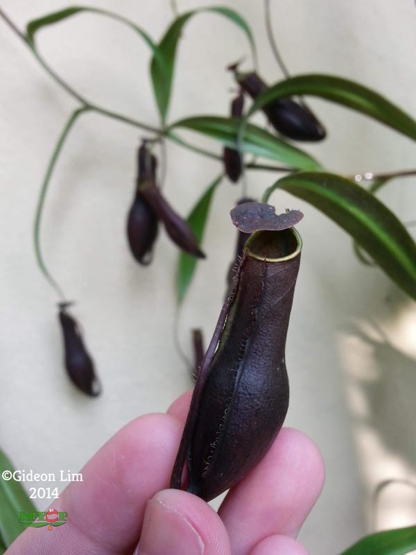 "Nepenthes gracilis - ""Black"" Bau Sarawak"