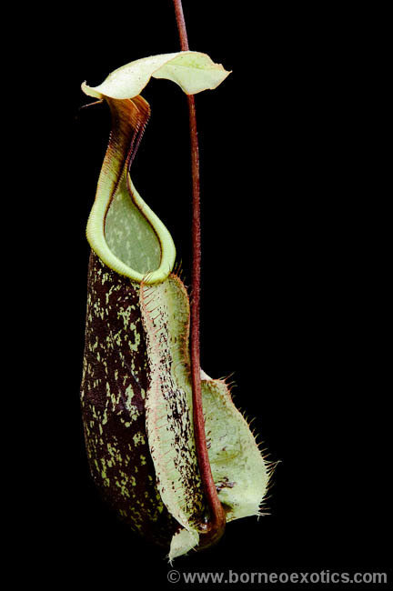 Nepenthes rafflesiana BE-3141 Select clones