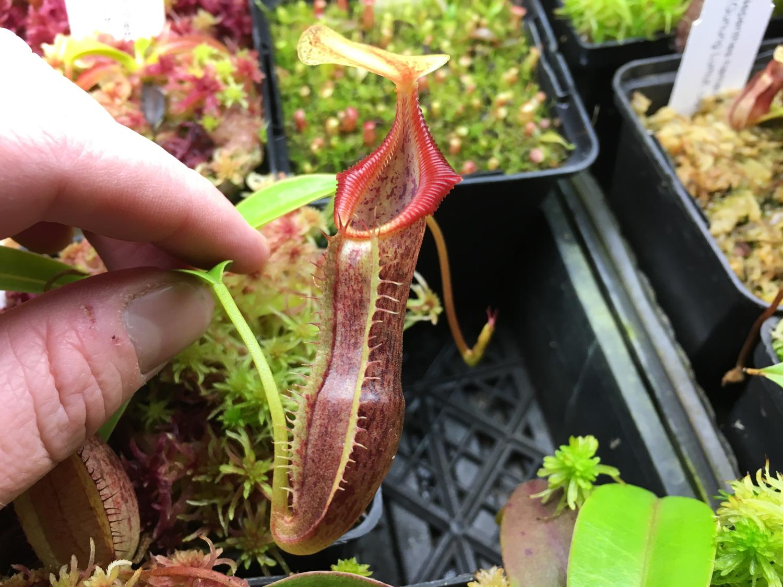 Nepenthes singalana BE-3170