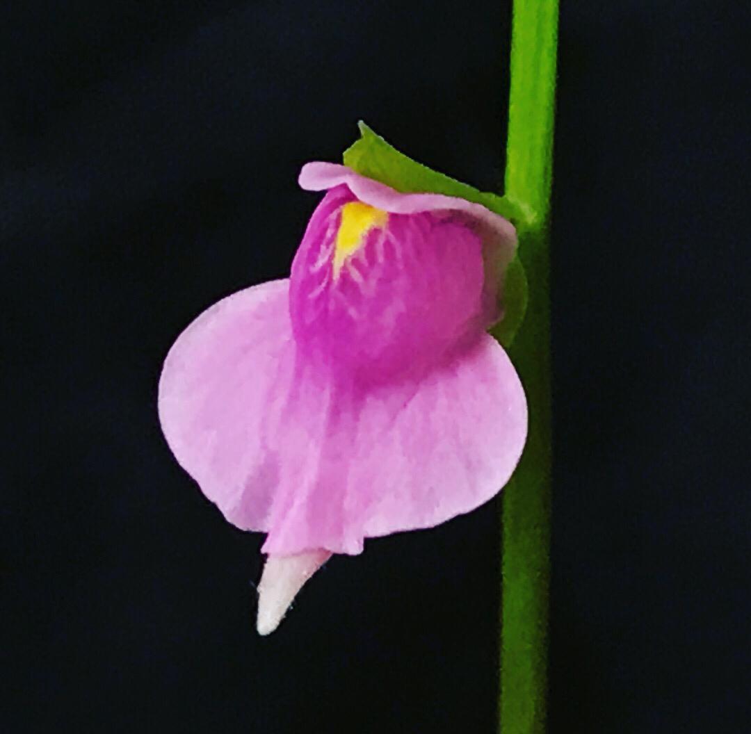 Utricularia calycifida cv. Asenath Waite (BOGO)