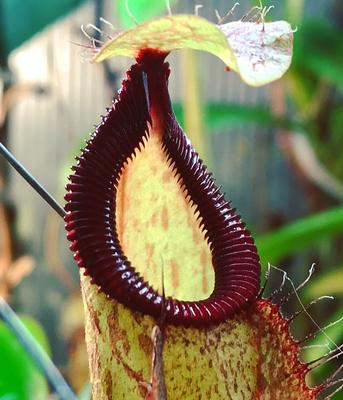 Nepenthes mirabilis var. globosa x hamata