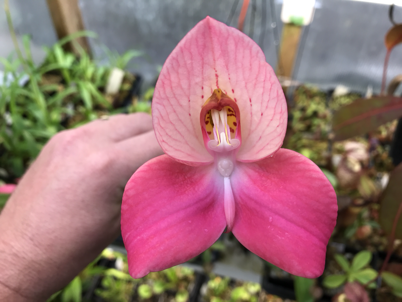 "Disa unidorosa Orchid ""Rosy Face"""