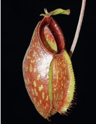 Nepenthes aristolochioides x Red Hairy hamata BE-3898