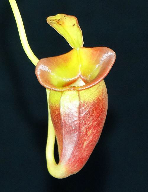 Nepenthes jacquelineae  BE 3874 New Clone! Awesome colour!!