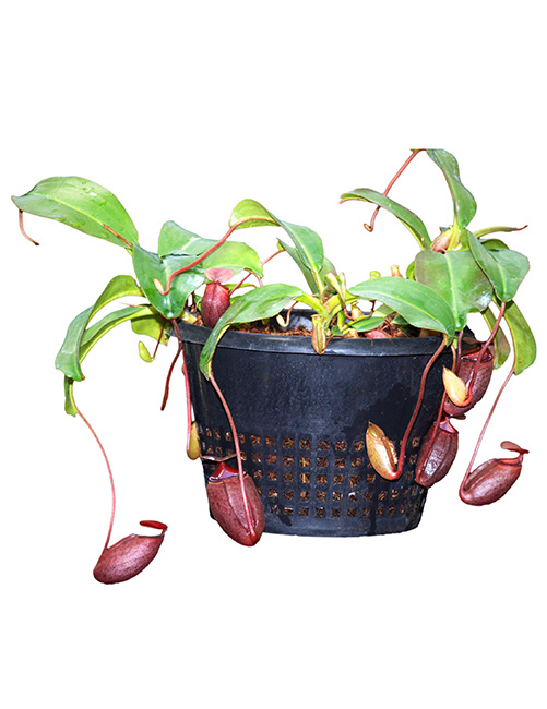 Nepenthes rajah x mira BE-3518 Seed Grown