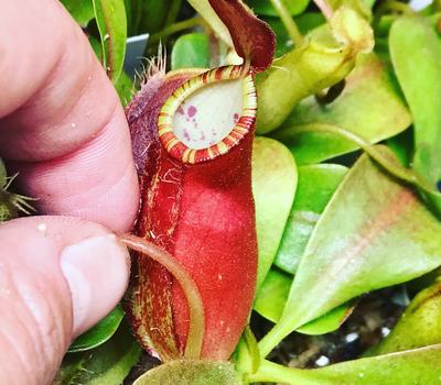 Nepenthes ampullaria x (spectabillis x talangensis)