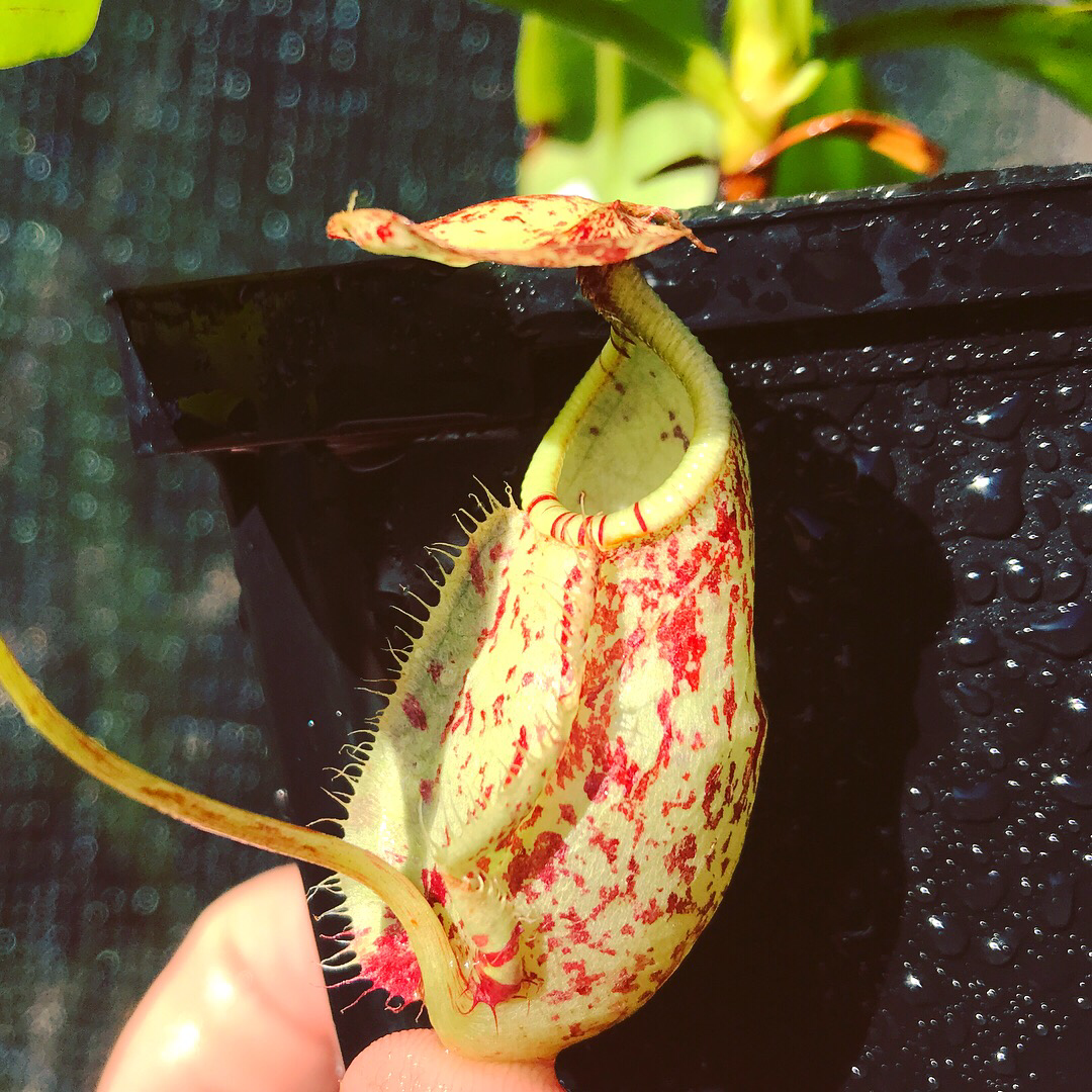 Nepenthes rafflesiana BE- 3722