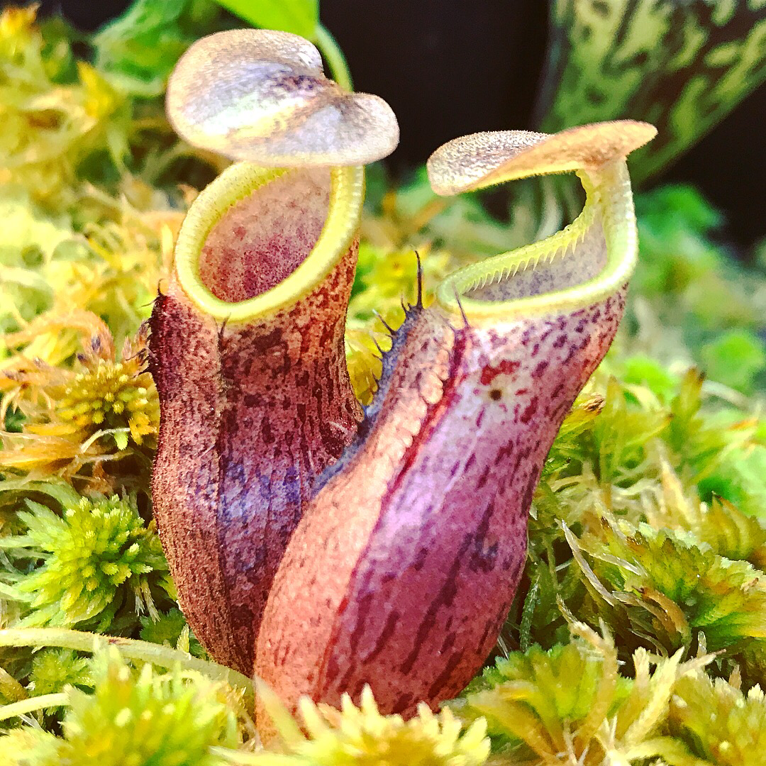 Nepenthes taminii