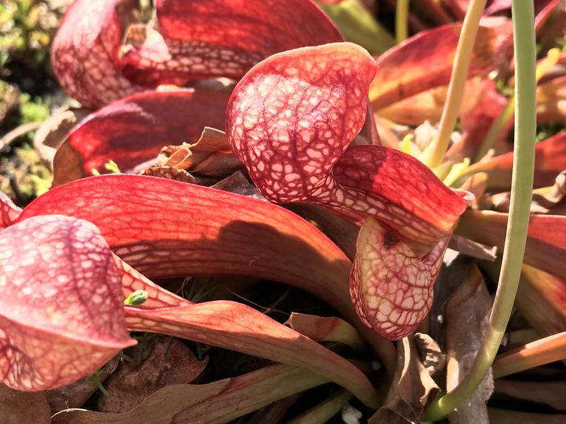 Sarracenia psittacina Great For Indoor Terrariums!