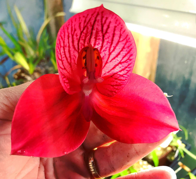 Disa Orchid Diablo Lighting x uniflora Lillian Rose