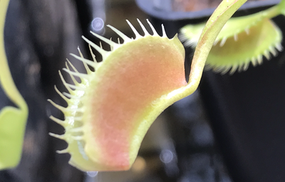 Dionaea muscipula  South West Giant Venus Flytrap (Blooming size)