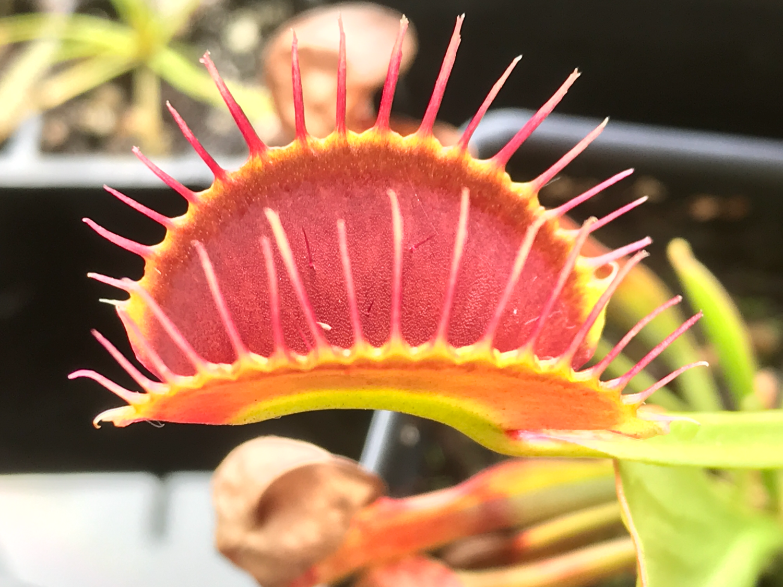 "Dionaea muscipula  ""Titan"" Venus Flytrap (Blooming size)"