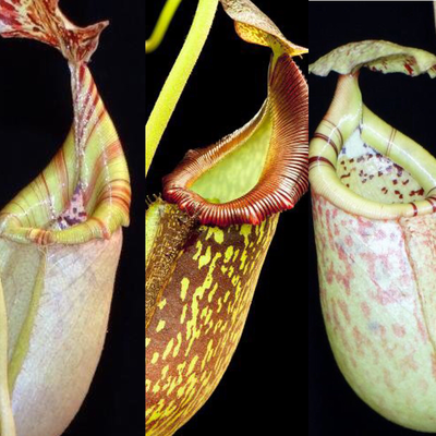 Intermediate Hybrids Nepenthes Starter pack (#6) Grows highland or lowland!