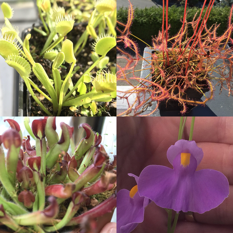 Ultimate Beginners Carnivorous Plant Starter Kit