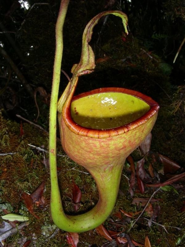 Nepenthes eymae BE-3736 Mega Sale!