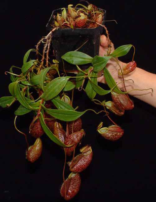 "Nepenthes gymnamphora ""Talakmau "" BE-3077"