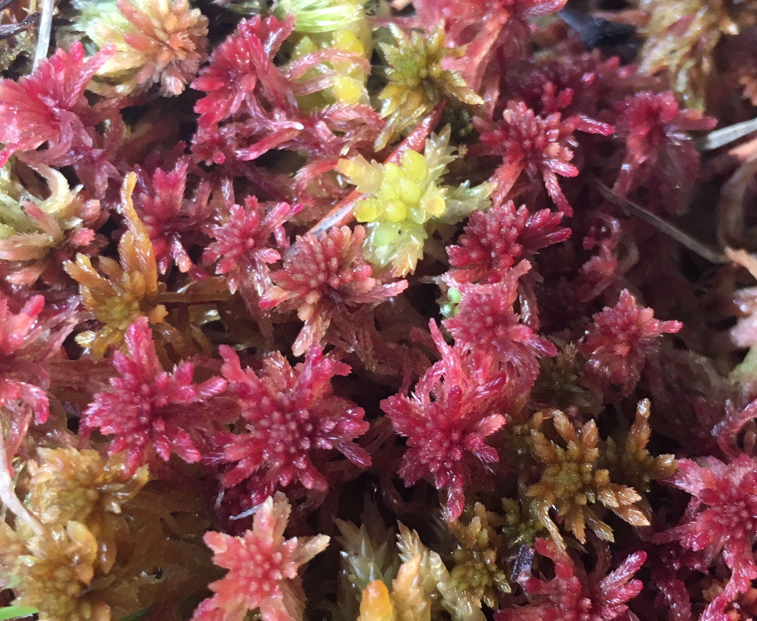 Live Green/ Red/ Brown Species Sphagnum Moss mix 25 grams sample size